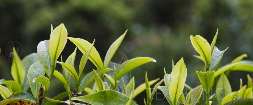 Leaf shoots of the tea plant