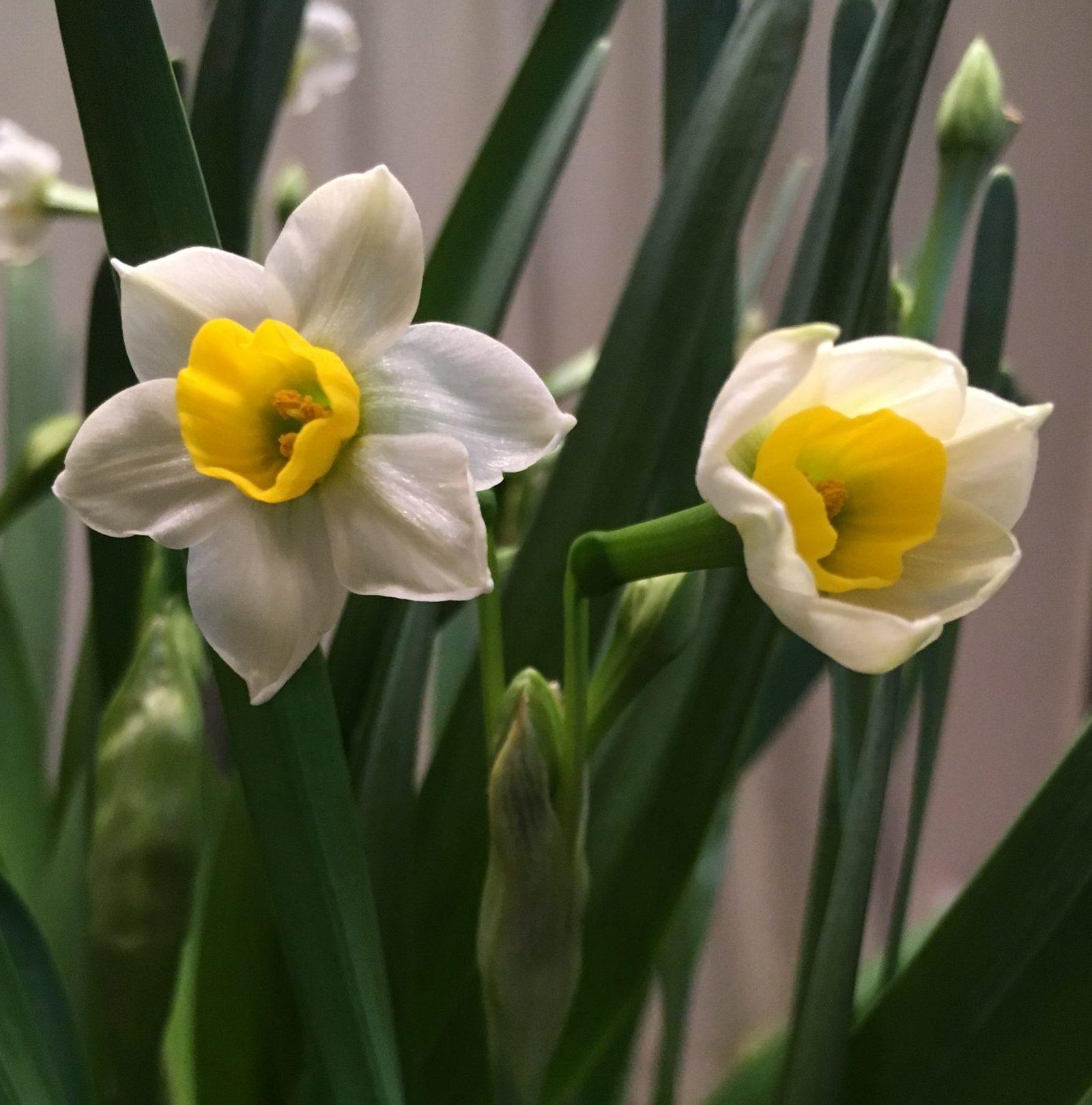Sacred Lily, aka Narcissus tazetta