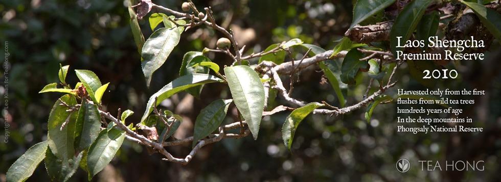 Laos centennial old tree shengcha