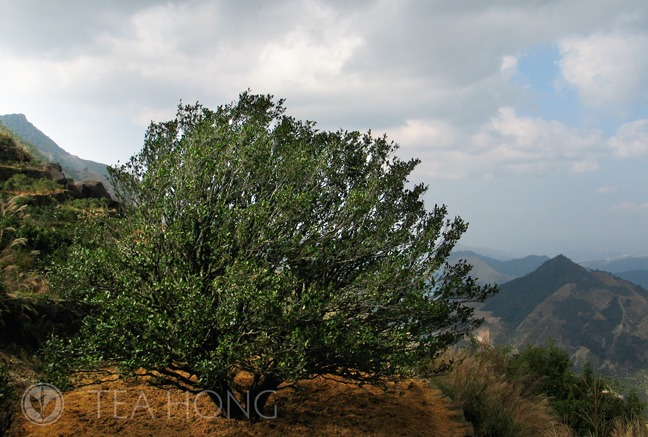 Old tea tree in Fenghuang