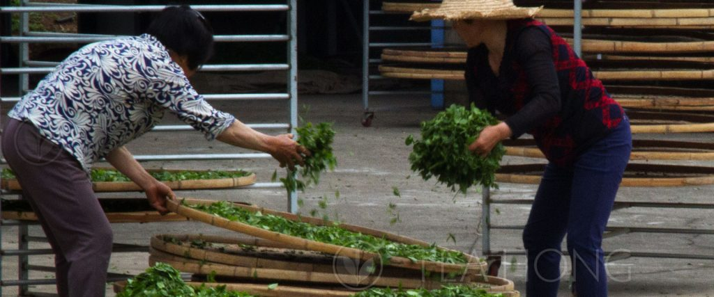 White tea processing: Spreading tealeaves onto bamboo sieves for