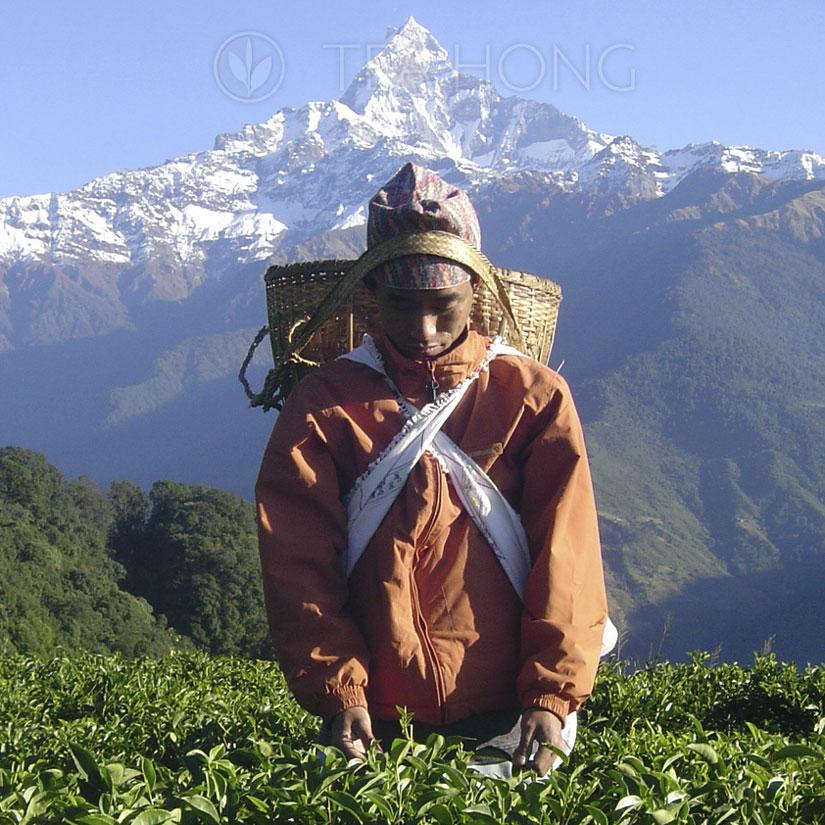 Tea Leaf Picking under the Himalayas