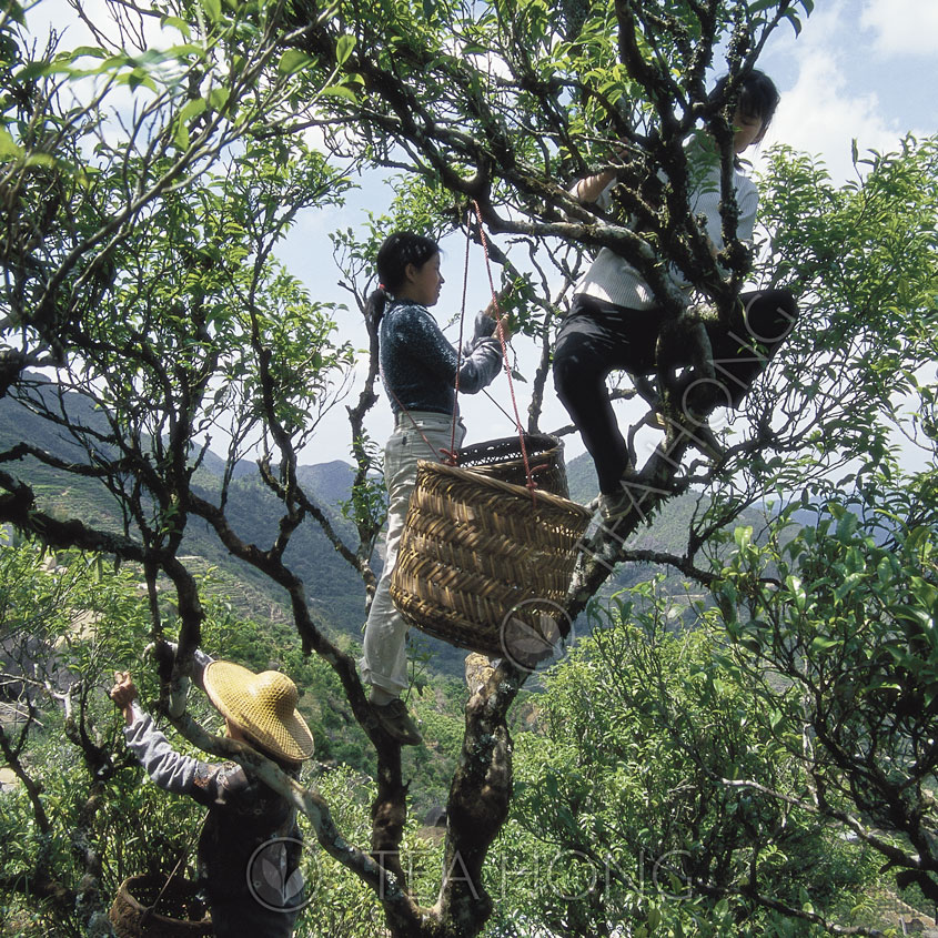 Harvesting on an old tea bush, Wuding, Phoenix
