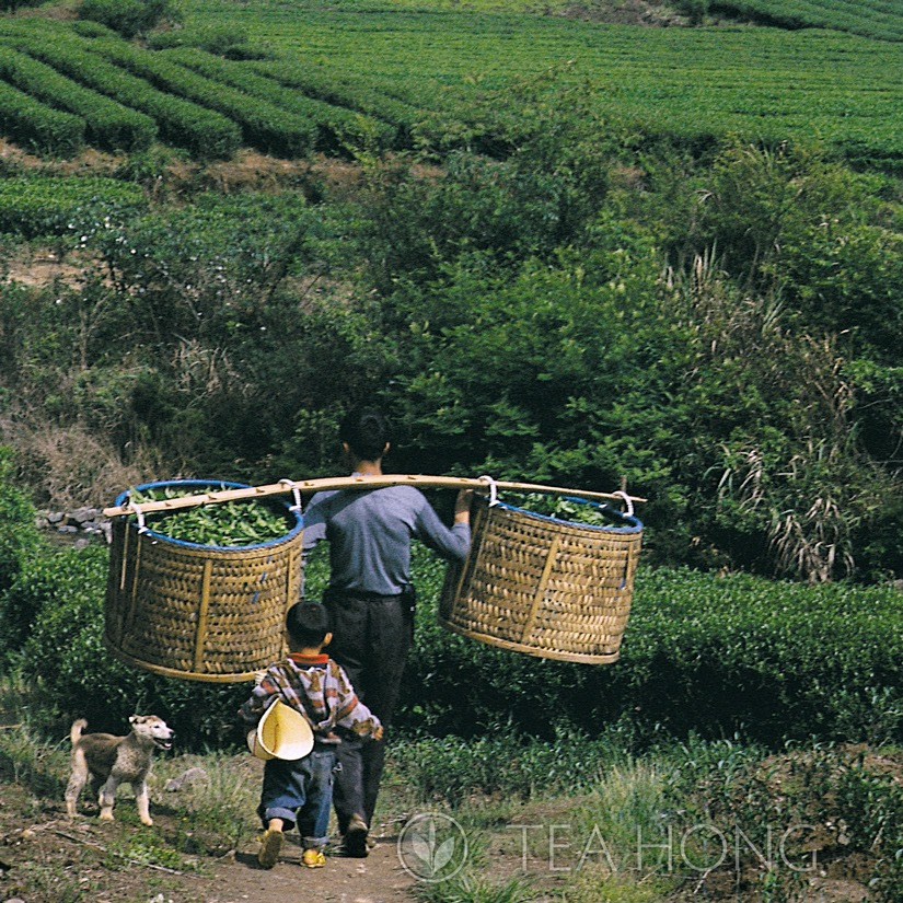 Father and son in the tea field