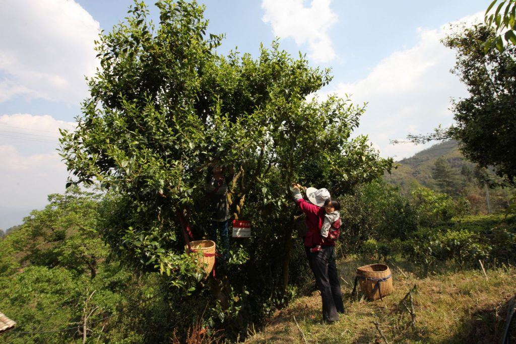 Plucking leaves from a tea tree in Fengqing