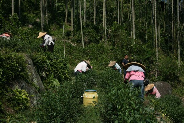 tea picking in Dong Ding