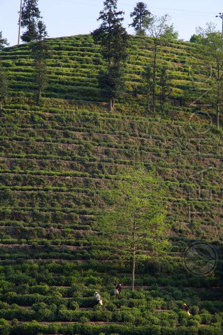 Tea Farm Terracing