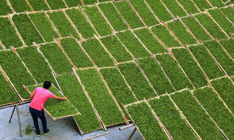Tealeaves being sunned during white tea processing