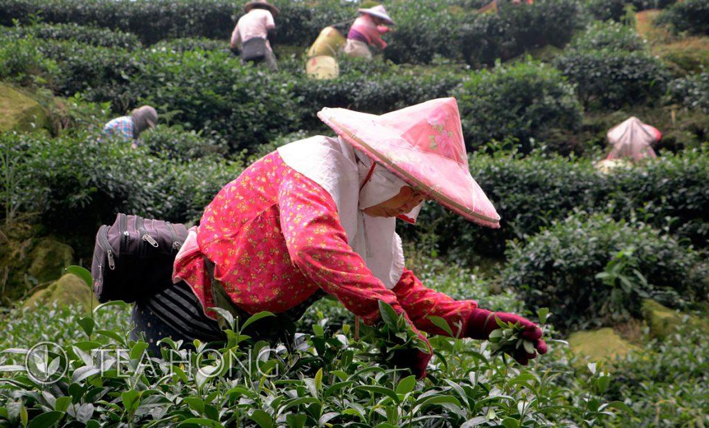 Tea Garden in Meishan