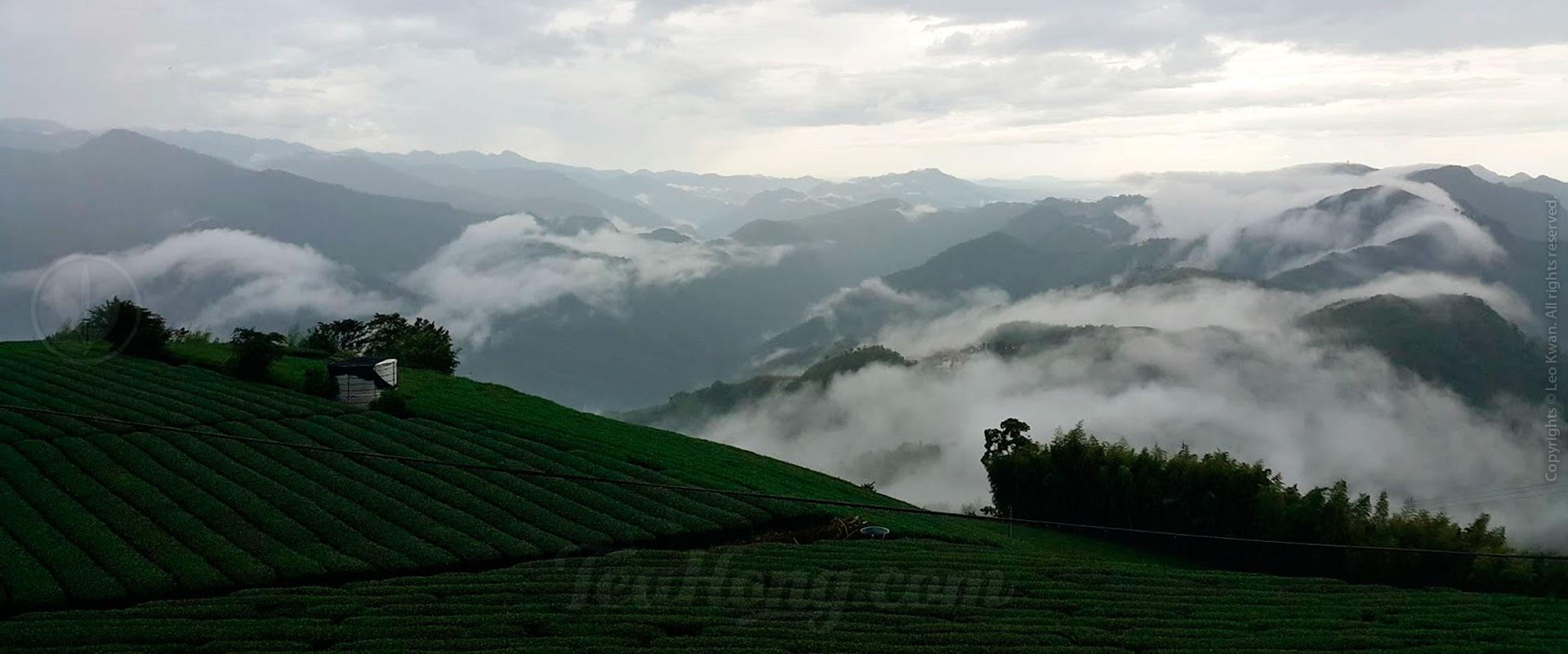 Tea garden in Alishan, Taiwan