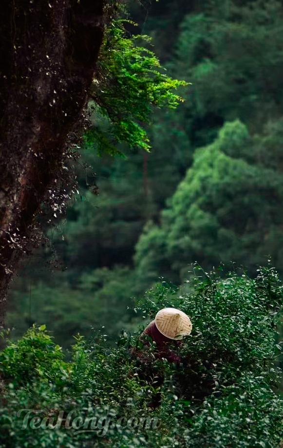 Tea plucking in Tongmuguan
