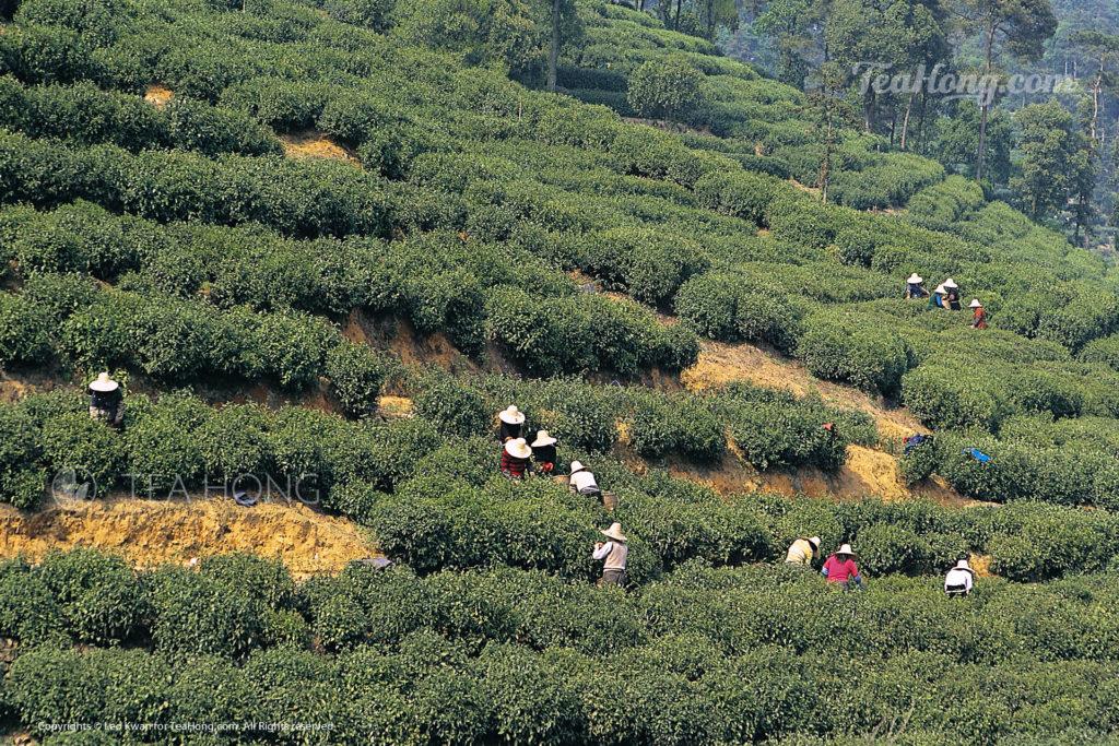 Picking of Longjing in a tea farm in Meijiawu, Hangzhou
