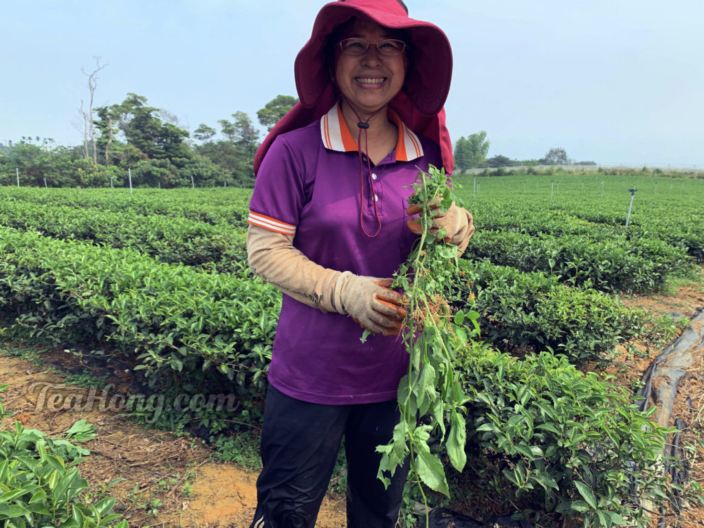 Ms Huang holding weeds she just pulled from amongst this row of tea bushes