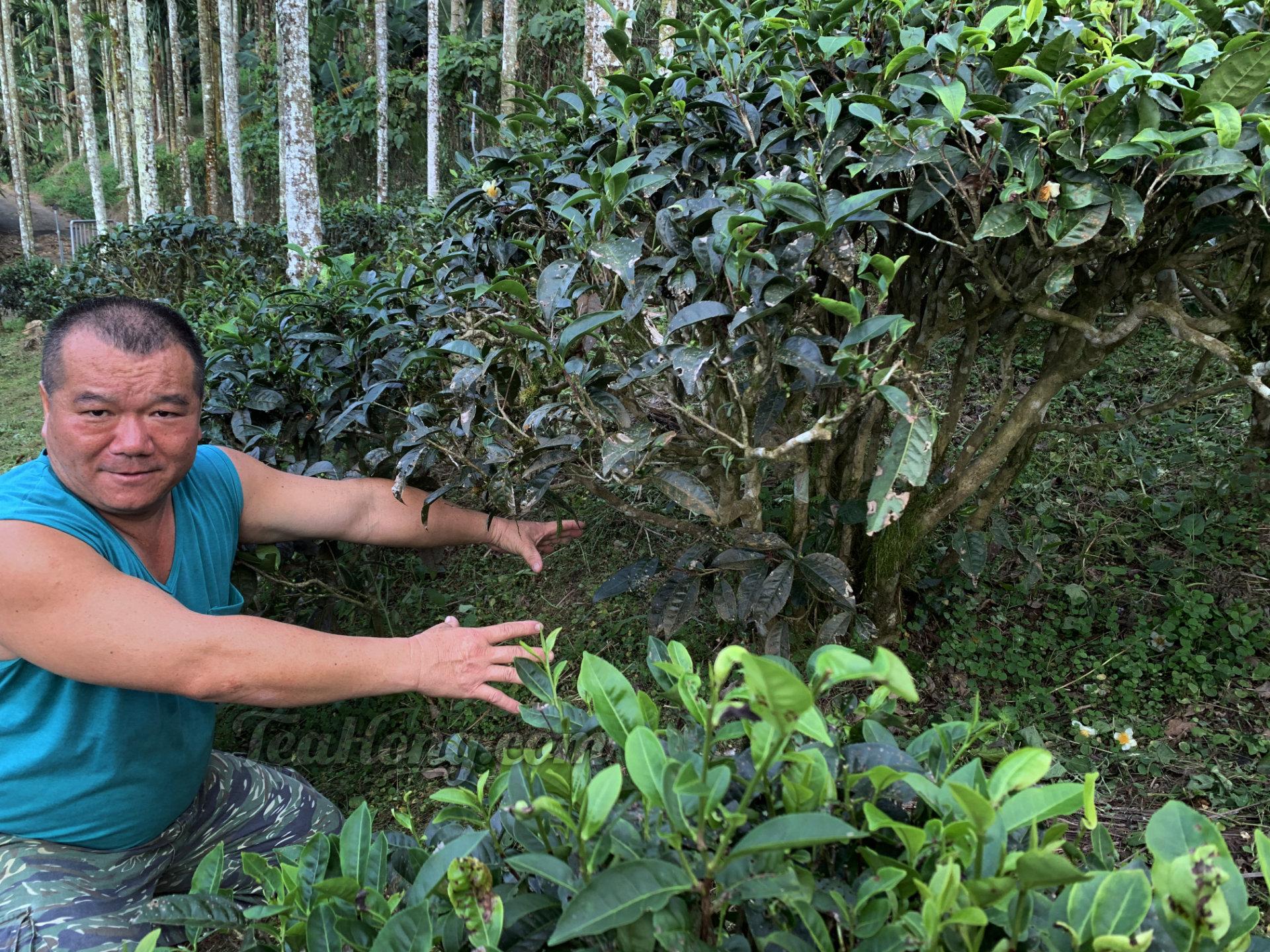 Master Li talks about ant problem in his wild Red Jade tea field